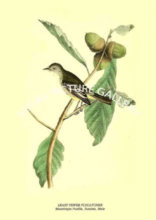 LEAST PEWEE FLYCATCHER - Muscicapa Pusilla, Swains, Male